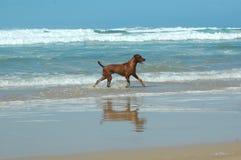 Hond en het overzees Stock Afbeeldingen