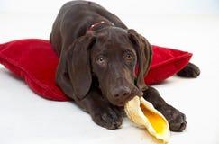 Hond en hoofdkussen Royalty-vrije Stock Afbeeldingen