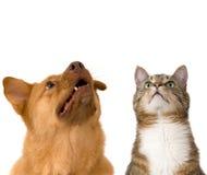 Hond en kat die omhoog eruit zien Royalty-vrije Stock Foto's