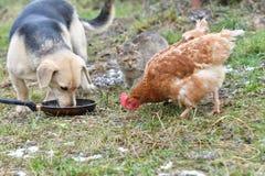 Hond en kat die van dezelfde schotel zoals beste vrienden eten Stock Foto's