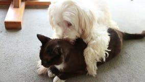 Hond en Kat in Liefde! De witte Hond kust en likt Zwarte Kat (lidstaten) stock footage