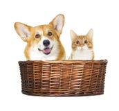 Hond en katjes het kijken Royalty-vrije Stock Afbeeldingen