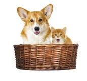 Hond en katjes het kijken Stock Foto's