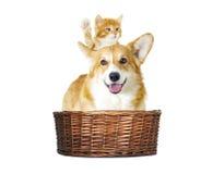 Hond en katjes het kijken Stock Afbeeldingen