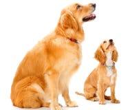 Hond en Puppy Stock Afbeelding