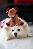 Hond en Rudolph Royalty-vrije Stock Foto