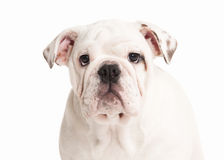 Hond Engels buldogpuppy op witte achtergrond Stock Foto