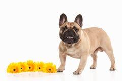Hond Frans buldogpuppy op witte achtergrond stock afbeeldingen