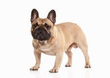 Hond Frans buldogpuppy op witte achtergrond stock foto