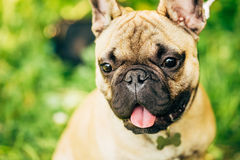 Hond Franse Buldog Royalty-vrije Stock Foto's