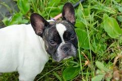Hond, Franse buldog Stock Foto