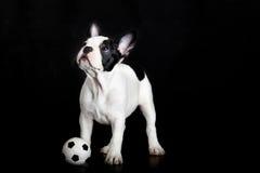 Hond Franse buldog op witte voetballer als achtergrond Royalty-vrije Stock Foto's