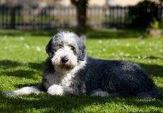 Hond, gebaarde collie stock foto's
