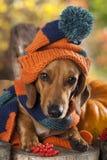 Hond gebreide hoed en sjaal Royalty-vrije Stock Afbeeldingen
