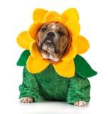 Hond gekleed als een bloem Royalty-vrije Stock Afbeelding