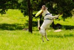 Hond gemist doel die vliegende schijf vangen Stock Foto's