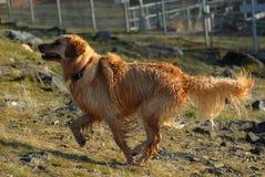 Hond - Gouden Retriever Royalty-vrije Stock Afbeelding