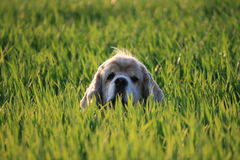 Hond in gras stock fotografie