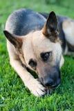 Hond in Gras Royalty-vrije Stock Foto