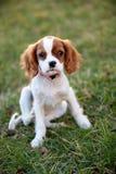 Hond in Gras royalty-vrije stock foto's