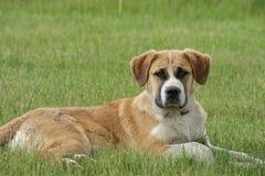 Hond in gras Stock Afbeeldingen
