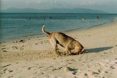 Hond gravend zand bij koh samui& x27; s strand royalty-vrije stock foto