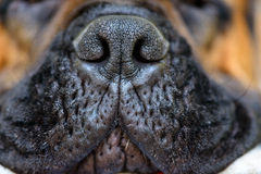 Hond grote neus Royalty-vrije Stock Foto's