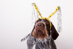 Hond in hairband Royalty-vrije Stock Afbeelding