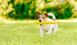 Hond halende stuk speelgoed stok die op camera bij helder gazon lopen Stock Foto's