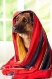 Hond in handdoek Stock Afbeelding