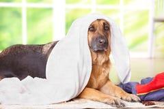 Hond in handdoek stock foto