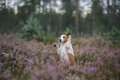 Hond in heidekleuren gang met een huisdier in de bos lilac kleuren van Jack Russell Terrier stock foto's
