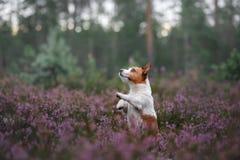 Hond in heidekleuren gang met een huisdier in de bos lilac kleuren van Jack Russell Terrier royalty-vrije stock afbeeldingen