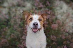 Hond in heidekleuren gang met een huisdier in de bos lilac kleuren van Jack Russell Terrier stock fotografie