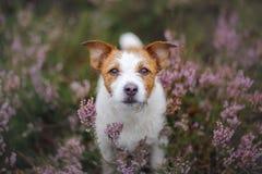 Hond in heidekleuren gang met een huisdier in de bos lilac kleuren van Jack Russell Terrier royalty-vrije stock foto