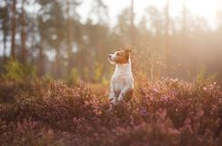 Hond in heidekleuren gang met een huisdier in de bos lilac kleuren van Jack Russell Terrier royalty-vrije stock fotografie
