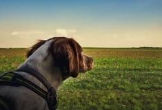 Hond het berijden in auto en het kijken door het venster royalty-vrije stock afbeelding