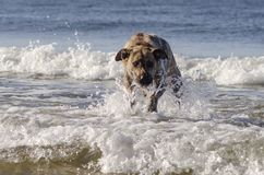 Hond het bespatten in het overzees Stock Afbeeldingen