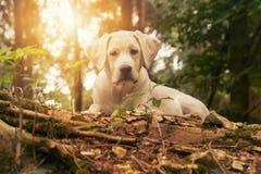 Hond in het bos bij zonsondergang - het witte puppy van Labrador Royalty-vrije Stock Foto's