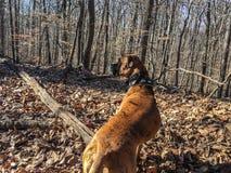 Hond in het de winterhout stock afbeeldingen