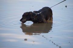 Hond in het drinken van Duitsland Stock Afbeelding