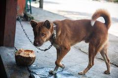 Hond het drinken van een kom van kokosnoot wordt gemaakt die Stock Fotografie
