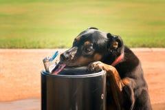 Hond het drinken van een waterfontein De straal van tonglikken Stock Afbeeldingen