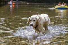 Hond het gelukkige spelen in rivier Stock Foto's