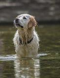 Hond het gelukkige waden in water Royalty-vrije Stock Fotografie