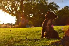 Hond in het gouden zonlicht Royalty-vrije Stock Foto