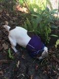 Hond het graven in vuil Stock Foto's
