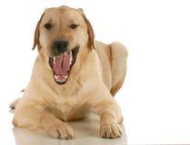 Hond het grommen Stock Afbeeldingen