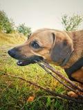 Hond het kauwen royalty-vrije stock afbeelding