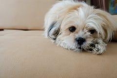 Hond het kijken Royalty-vrije Stock Foto's